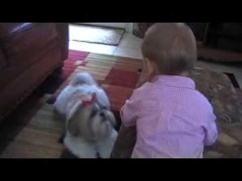 Shih tzu Dog, Sophie Meets Baby Caiden