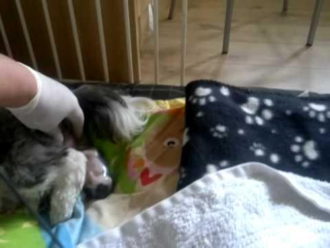 Shih Tzu First Whelp, Dog Having Puppies