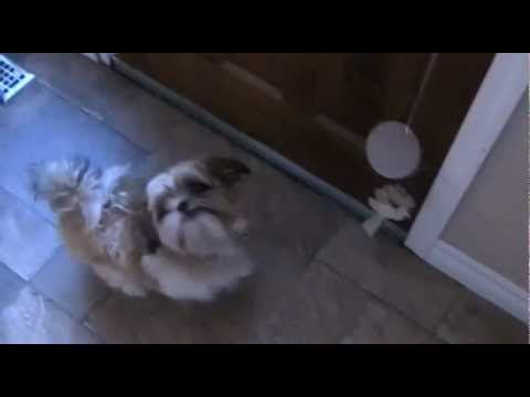 Dog Rings Bell to Go Outside – Shih Tzu Training