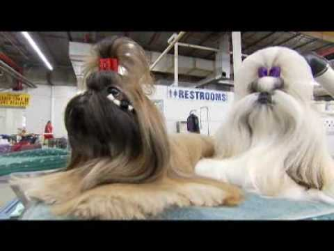 Introducing the Shih Tzu