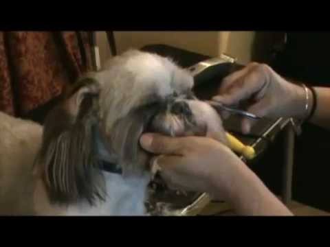 How to give your Shih Tzu the perfect hair cut