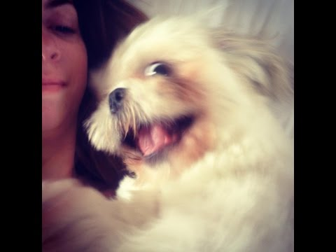 Funny Dogs, Shih Tzu Puppy Belly Slide, Dogs, Funny Pets, Funny Video