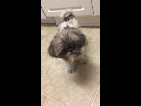 Shih Tzu Dog Finally Learns How To Sit