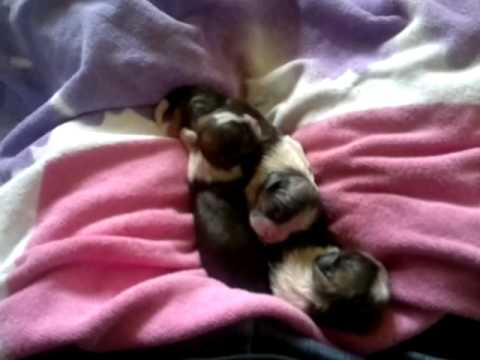 Shih Tzu First whelp video 2 dog having puppies