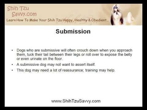 The Instinct In Making Shih Tzu Training Successful
