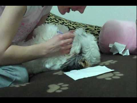 Shih Tzu Training – Brushing and Cleaning Teeth
