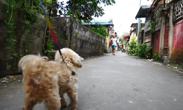 Philippines, Bulacan, San Jose Del Monte, Shih Tzu dog walk