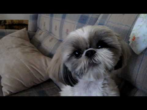 Molly Our Singing Shih Tzu