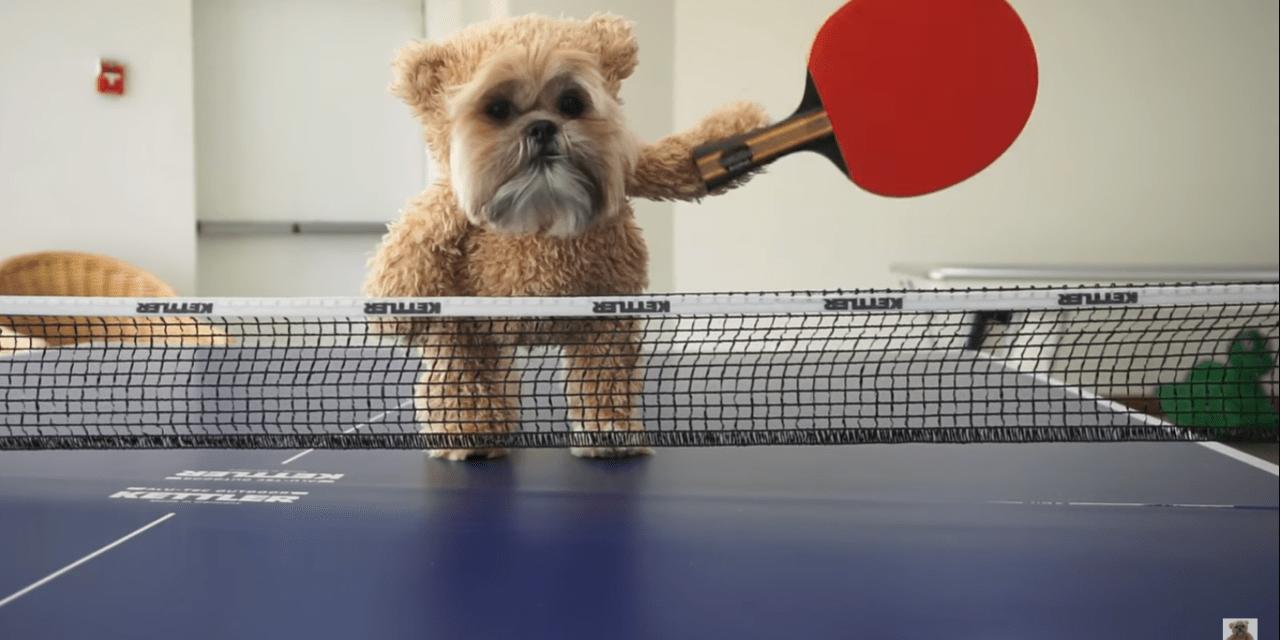 The Ping-Pong Champion Shih Tzu