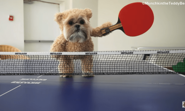 The Ping-Pong Champion Shih Tzu