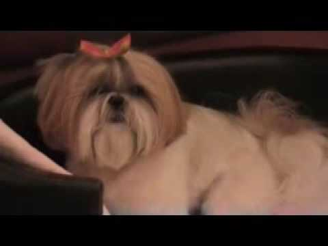 Shih tzu Dog Sophie's Playful Bark