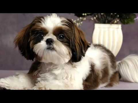 Top 10 Most Amazing Facts About Shih Tzu – Shih Tzu Puppies