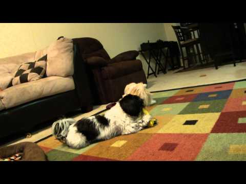 Shih Tzu Guard Dogs in Training