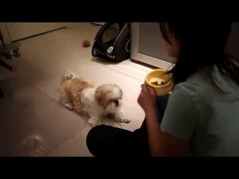 Sweet And Cute Shih Tzu Dog Training