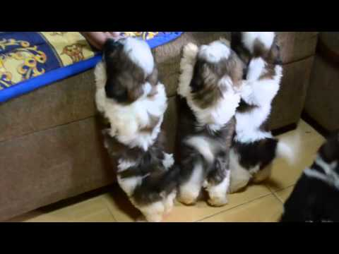 Shih Tzu Puppies after the 1st bath | cute video