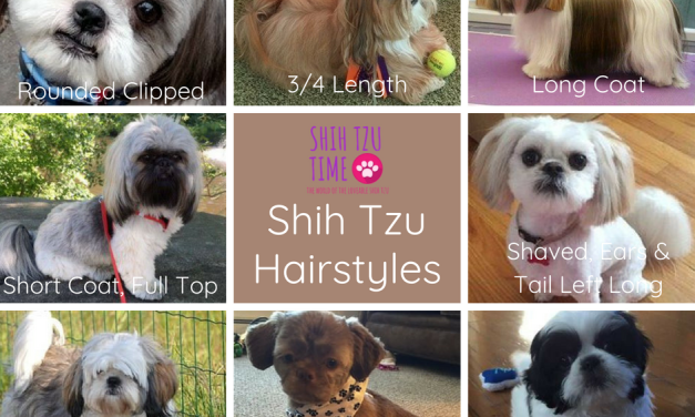 Shih Tzu Hairstyles – What You Need To Know