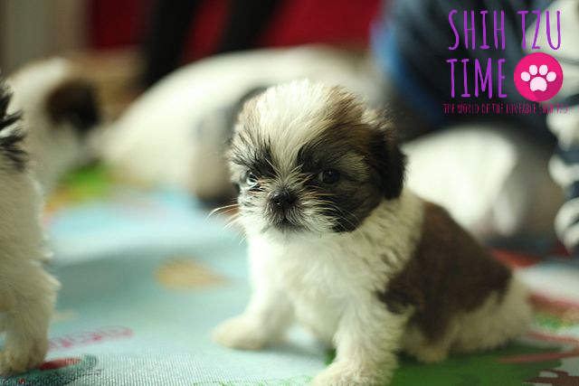 Shih Tzu Biting Best Practice