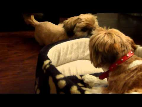Two shih tzu dogs barking? at what?
