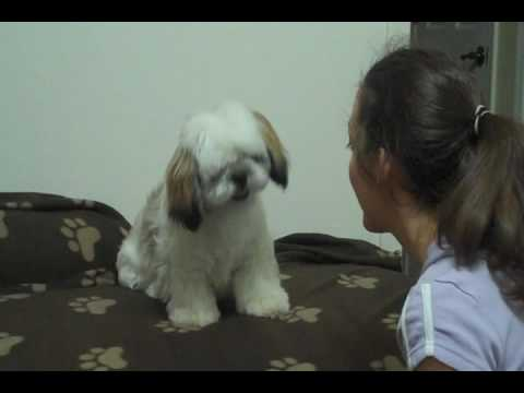 Cute Shih Tzu – Training And Fun Videos