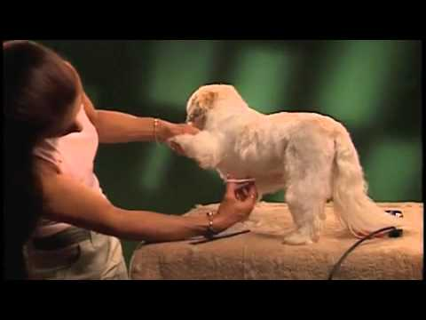 Grooming a Shih Tzu with Wahl Clippers