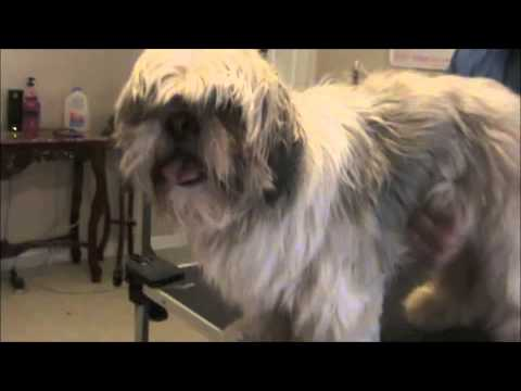 How to Groom a Matted Shih Tzu
