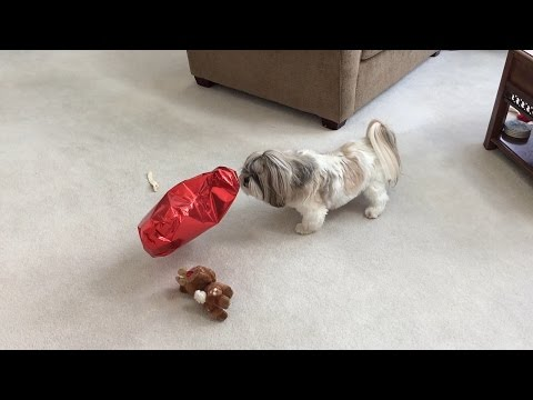 Is silly Lacey afraid of a balloon? | Shih Tzu dog