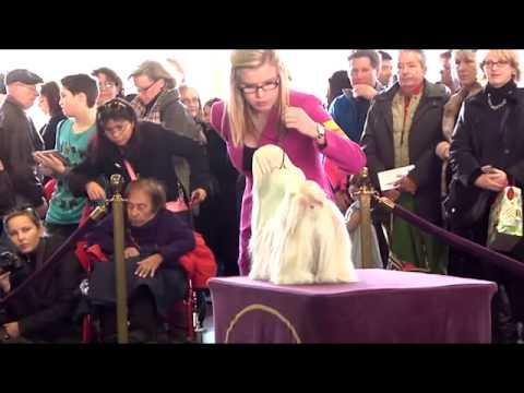 Westminster Show 2014 – Shih Tzu