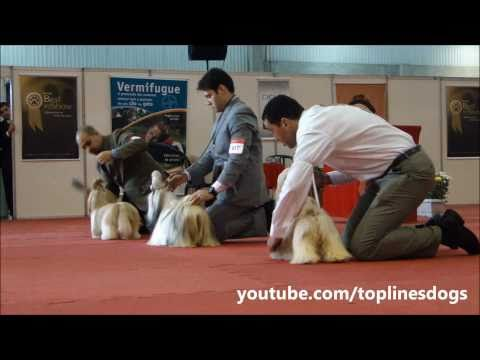 Shih Tzu – Females – Brazil Dog Shows – Kenel Clube São Paulo 2011