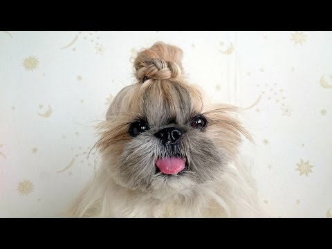 Hairstyle Dog: Fashionable Pooch Becomes Instagram Sensation