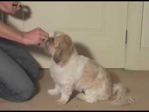 Shih-Tzu Learning Shake-a-Paw Dog Trick