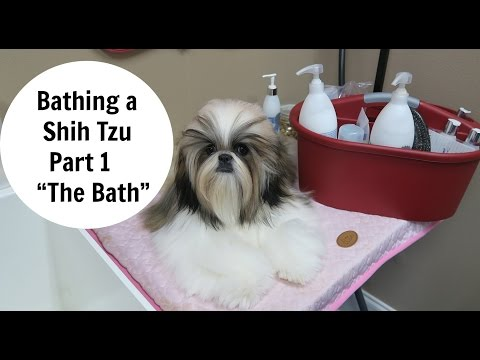 Bathing a Shih Tzu