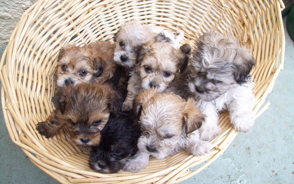 Feature YOUR Shih Tzu!
