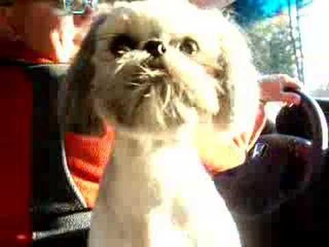 Izzie the funny shih tzu puppy dog