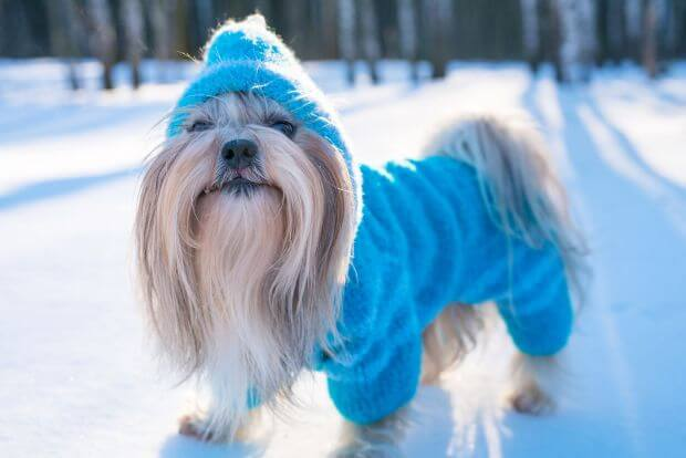 Winter coats for Shih Tzus