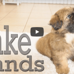 How to Train Your Shih Tzu to Shake Hands