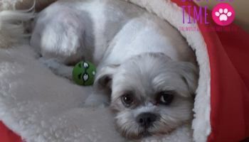 Breathing Problems of Shih Tzu Dogs - Shih Tzu Time