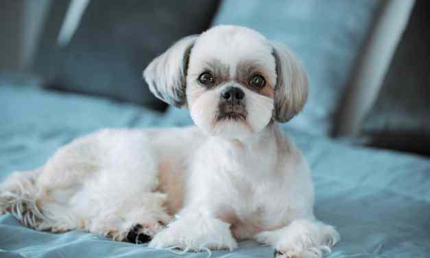 Shih Tzu Barking Help And Tips