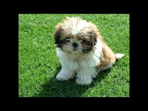 How to house train your Shih tzu puppy