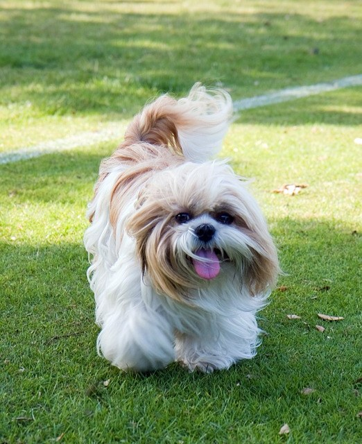 Understand your Shih Tzu