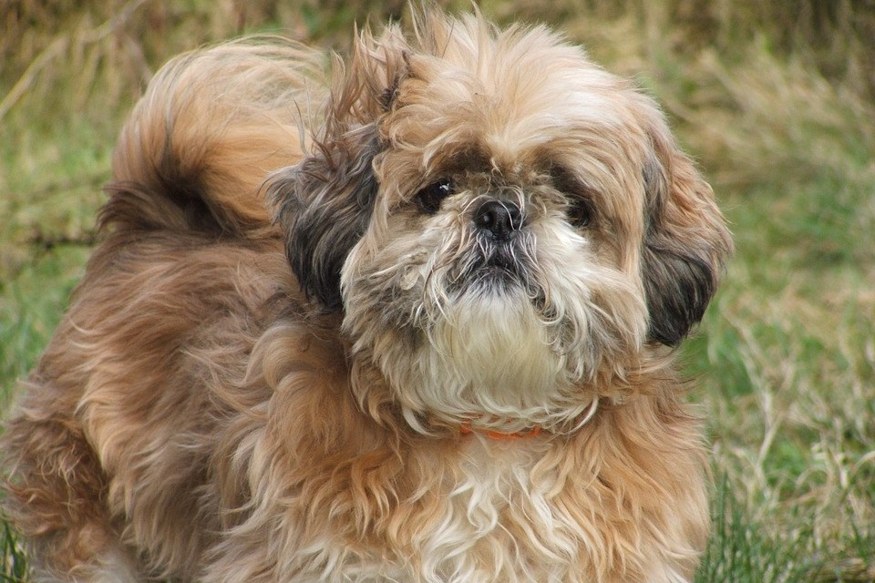 Basic Training Commands for your Shih Tzu
