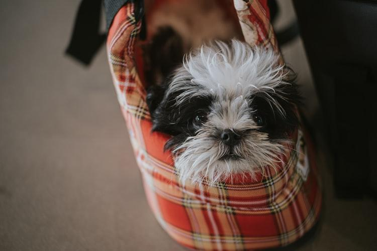 Shih Tzu Time - why do shih tzus lick their paws