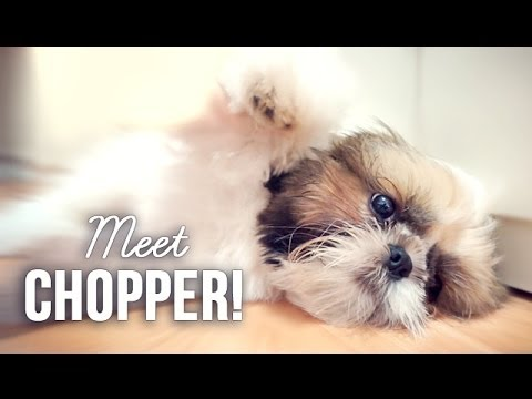 Meet Chopper, My Shih Tzu Puppy
