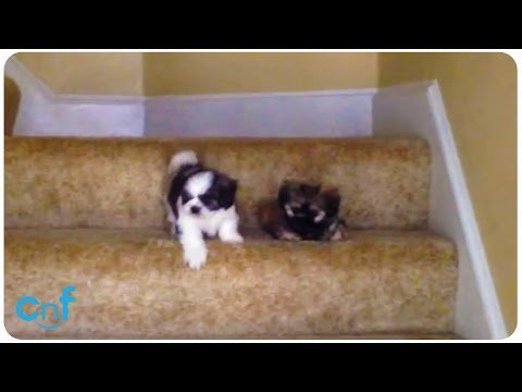 Shih Tzu Puppies' First Time With Stairs.Stair Scare