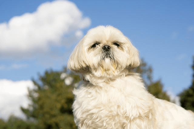 PREVENTION OF FEVER IN A SHIH TZU