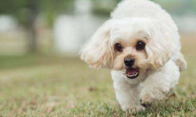 Shih Tzu Mix Breeds: All You Need To Know