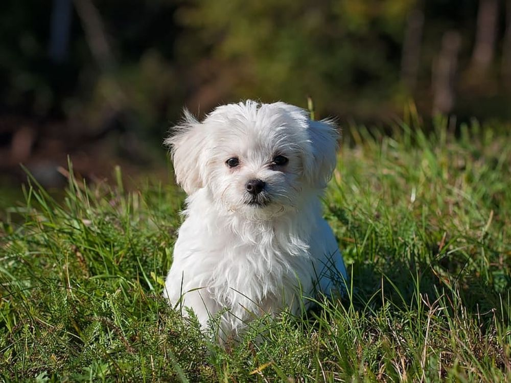 MalShih: Shih Tzu and Maltese
