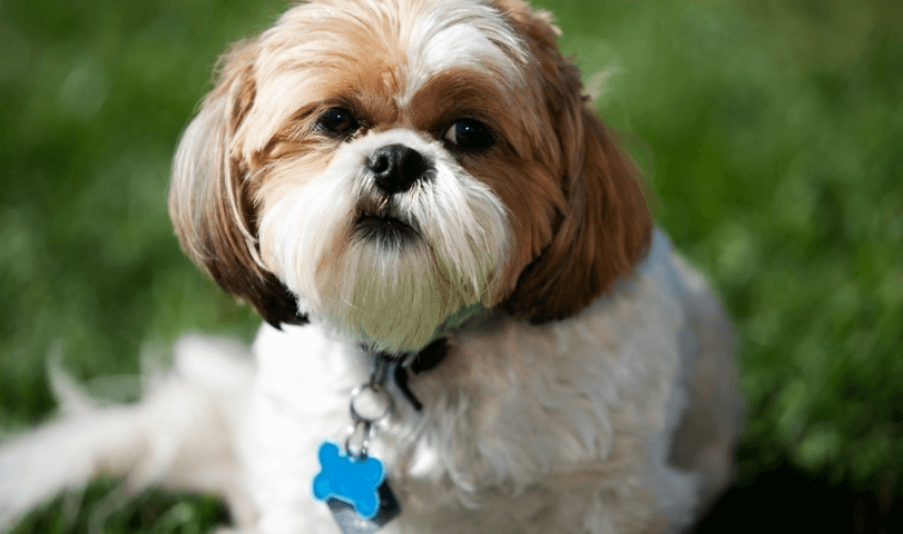 Types of Shih Tzu Poop and What They Mean