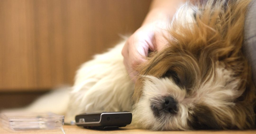 sleeping shih tzu with owner