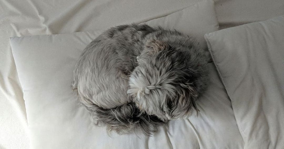 gray shih tzu sleeping on bed