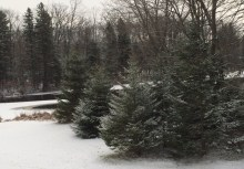 There is something special about snow-covered fir trees